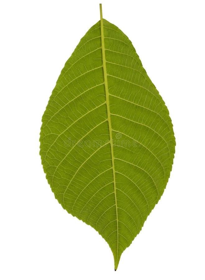 La plante verte laisse d'isolement sur le fond blanc photo libre de droits