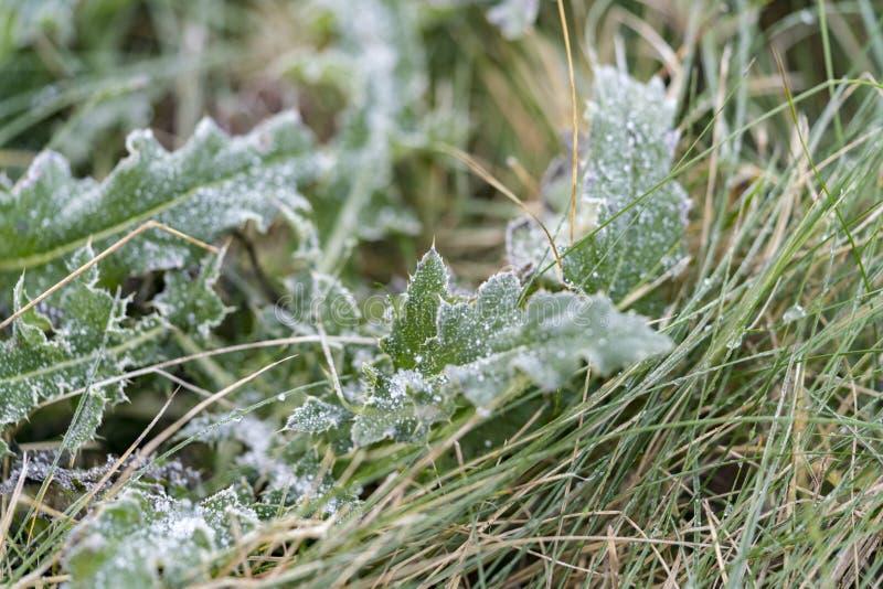 La plante verte part avec la gelée image stock