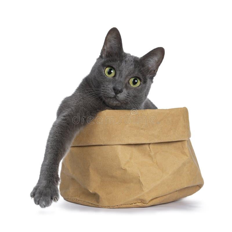 La plata inclinó el gato azul de Korat del adulto, aislado en el fondo blanco imágenes de archivo libres de regalías