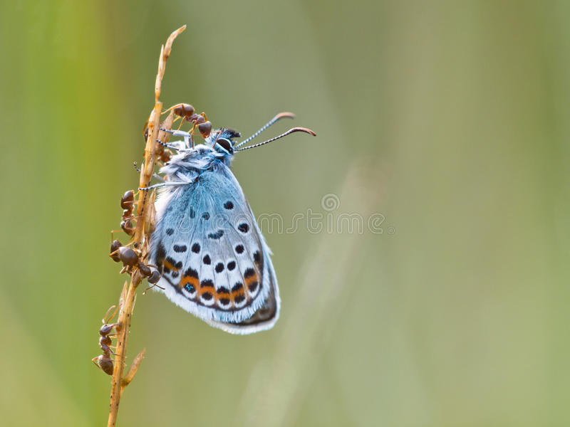 La plata tachonó la mariposa azul en simbiosis con la hormiga roja imagen de archivo libre de regalías