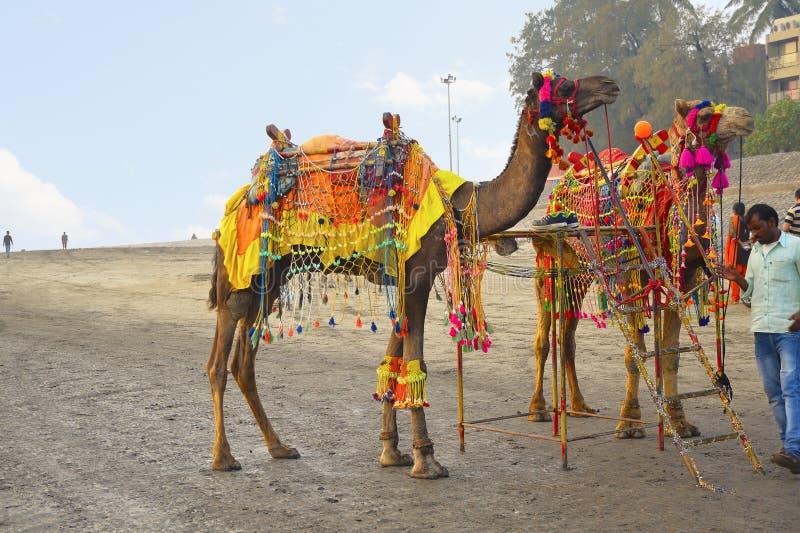 La PLAYA de ALIBAUG, MAHARASHTRA, la INDIA 13 de enero de 2018, camellos listos para tomar a los turistas para la alegría monta e imágenes de archivo libres de regalías