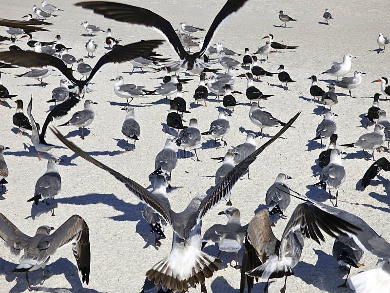 La playa de la Florida, Madeira, colonias de pájaros de mar recolectó en la playa imagen de archivo