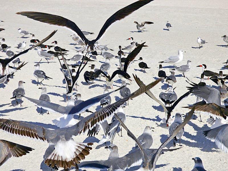 La playa de la Florida, Madeira, colonias de pájaros de mar recolectó en la playa imagen de archivo libre de regalías