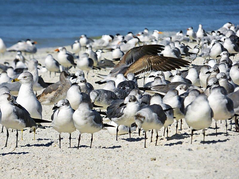 La playa de la Florida, Madeira, colonias de pájaros de mar recolectó en la playa fotografía de archivo