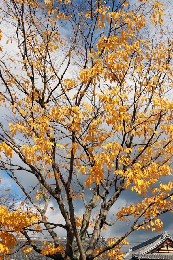 La pleine feuille japonaise jaune sur l'arbre avec le ciel bleu et la maison japonaise couvrent le fond photos stock