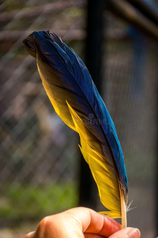 La plume du perroquet en main image libre de droits