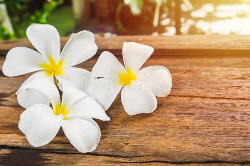 La plumeria bianca del frangipane fiorisce sul pavimento di legno nella mattina s immagine stock