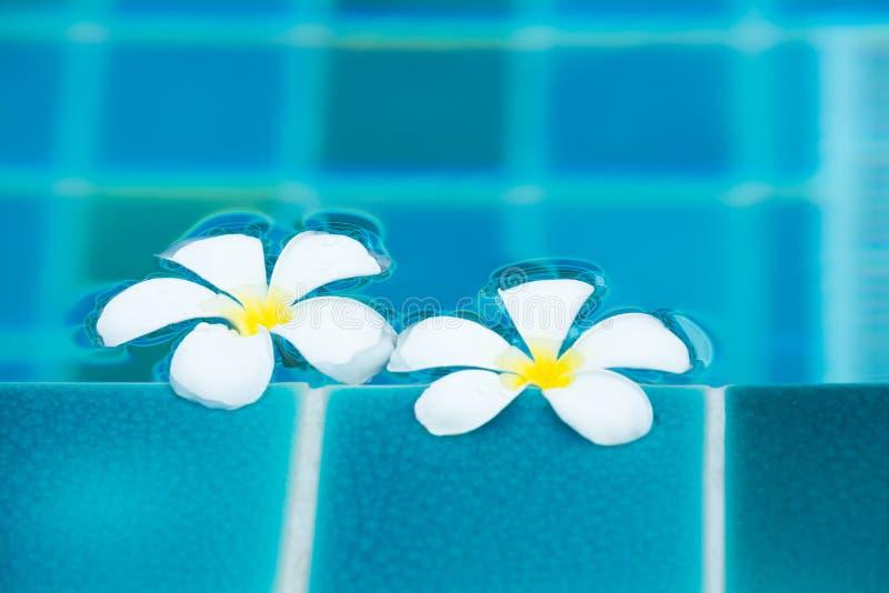 La plumeria bianca fiorisce il flot in uno stagno blu fotografia stock libera da diritti