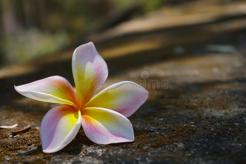 La plumeria fiorisce falled sulla fine del rockground su fotografie stock