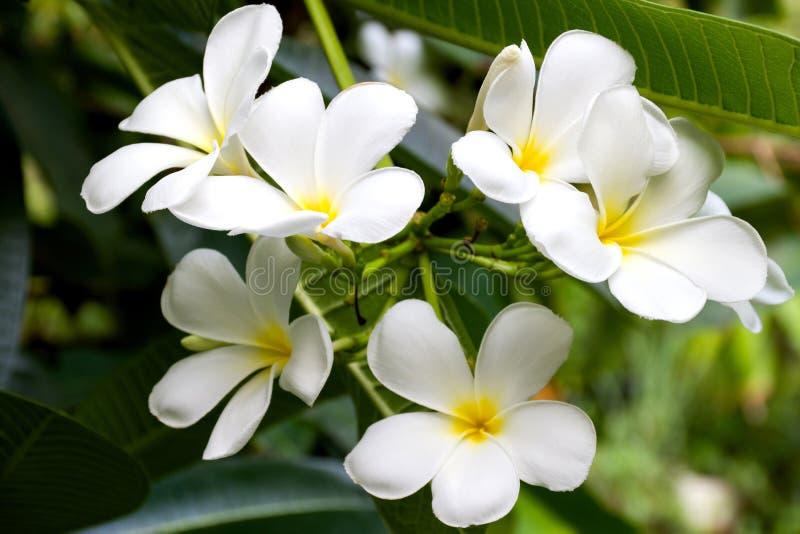 La plumeria fiorisce o colore bianco e giallo del fiore del frangipane su fondo vago in giardino immagine stock libera da diritti