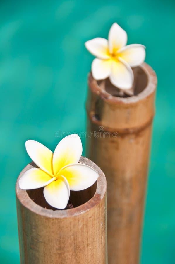 La plumeria fiorisce sui tronchi di bambù, l'acqua blu immagini stock