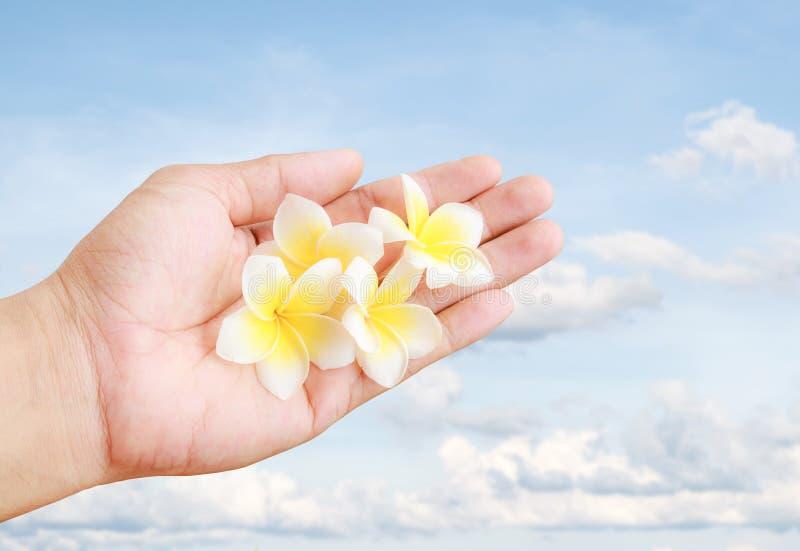 La plumeria tropicale fresca fiorisce la tenuta disponibila con il BAC del cielo blu fotografie stock libere da diritti