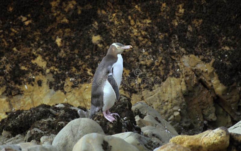 La plupart de vie précieuse de pingouin, pingouin aux yeux jaunes, antipodes de Megadyptes, Nouvelle-Zélande image libre de droits