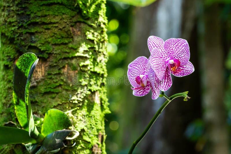 La polilla del Phalaenopsis formó orquídeas Pétalos blancos con los puntos rosados; Árbol con el musgo, plantas verdes en fondo H fotografía de archivo