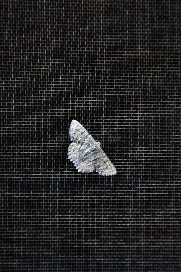 La polilla encendido flyscreen foto de archivo
