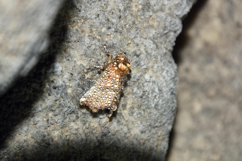 La polilla rara de la cueva, libatrix de Scoliopteryx imagenes de archivo