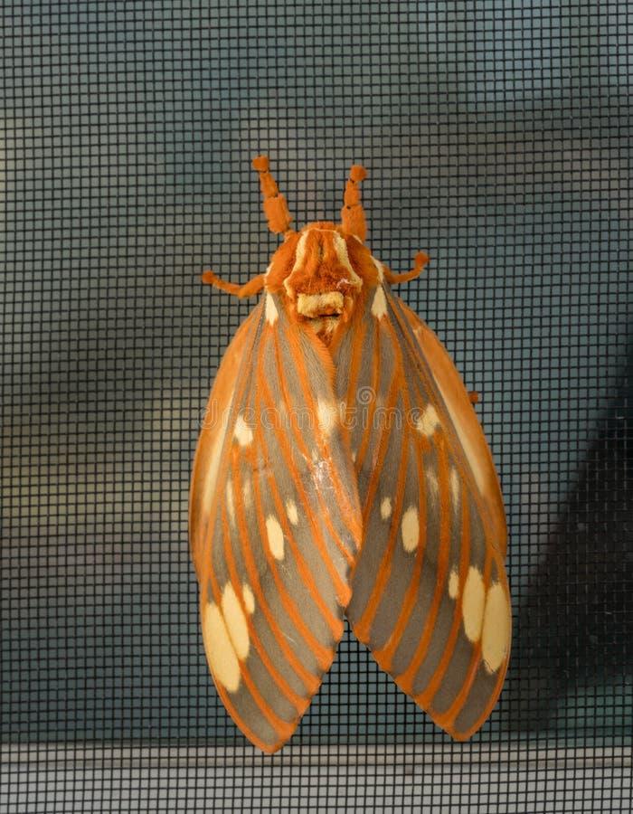 La polilla real grande o Citheronia Regalis aterrizó en la pantalla de la ventana fotos de archivo libres de regalías