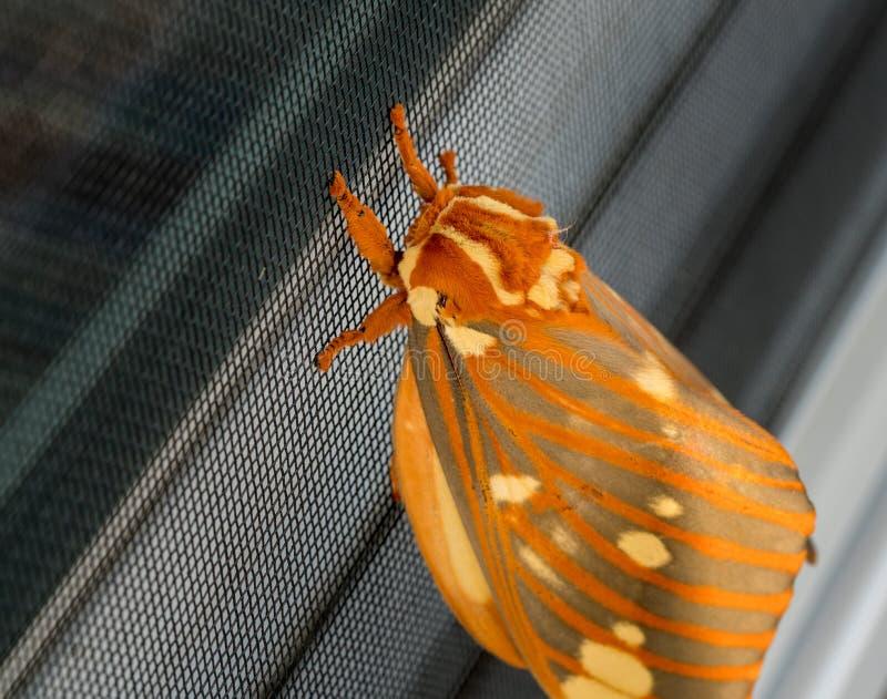 La polilla real grande o Citheronia Regalis aterrizó en la pantalla de la ventana imagenes de archivo
