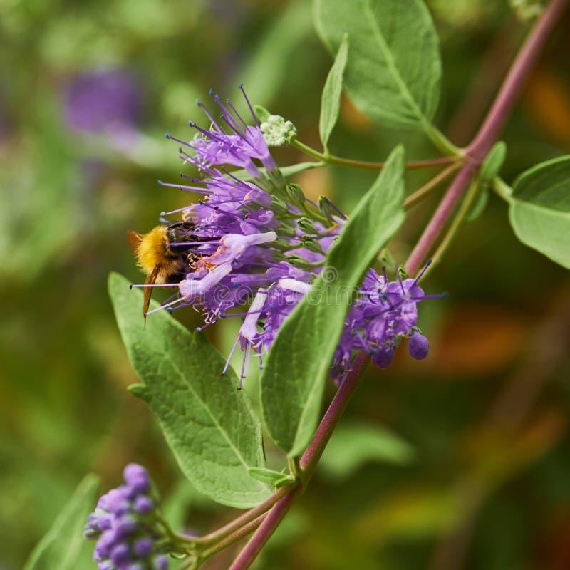 La pollination gaffent l'abeille sur la fleur pourpre photo libre de droits