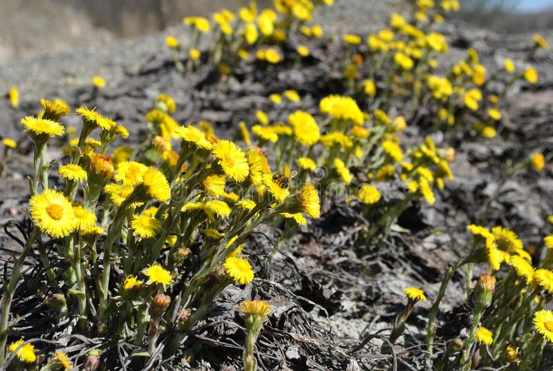 La pollinisation par la fleur d'abeilles du ¡ de Tussilà vont rfara de ¡ de fà images stock