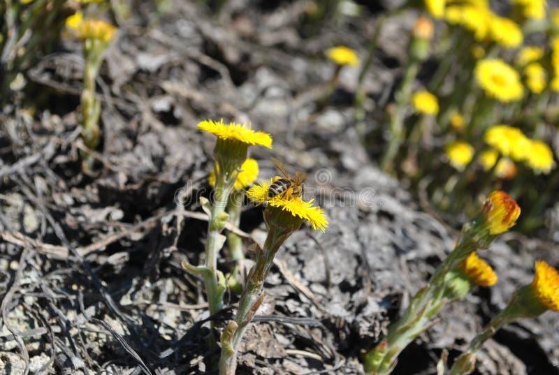 la pollinisation par la fleur d'abeilles du ¡ de Tussilà vont rfara de ¡ de fà dans la carrière de granit photo stock