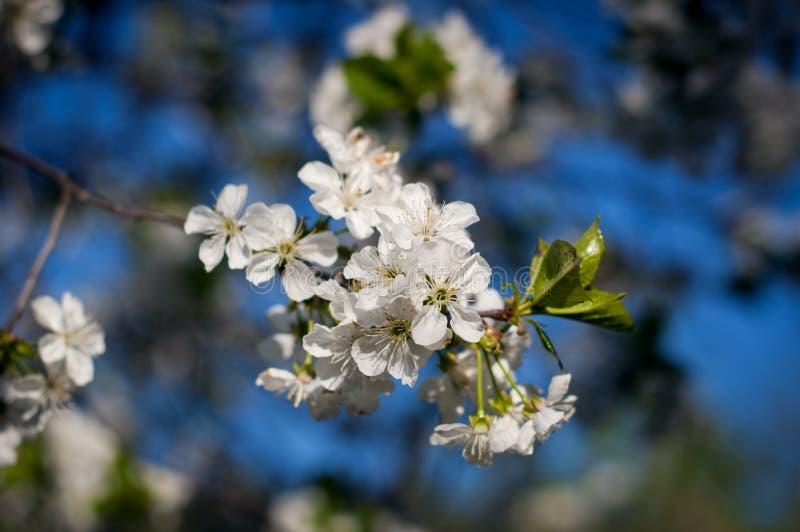 La pomme fleurissante photo stock