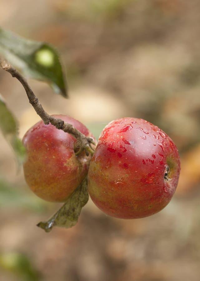 La pomme rouge se développe sur un arbre photos libres de droits