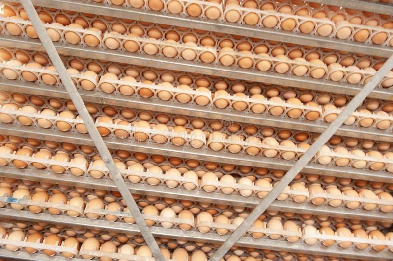 La porción de huevos en la bandeja de los criadores cultiva fotografía de archivo libre de regalías