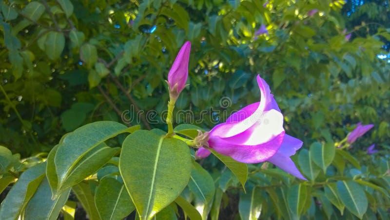 La porpora fiorisce le apocynaceae fotografie stock