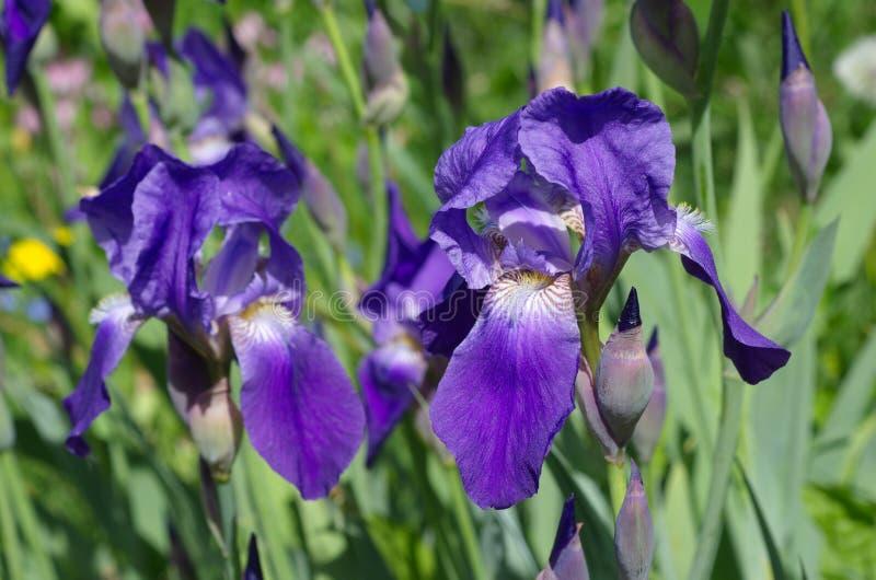 La porpora irida la fioritura in primavera immagini stock