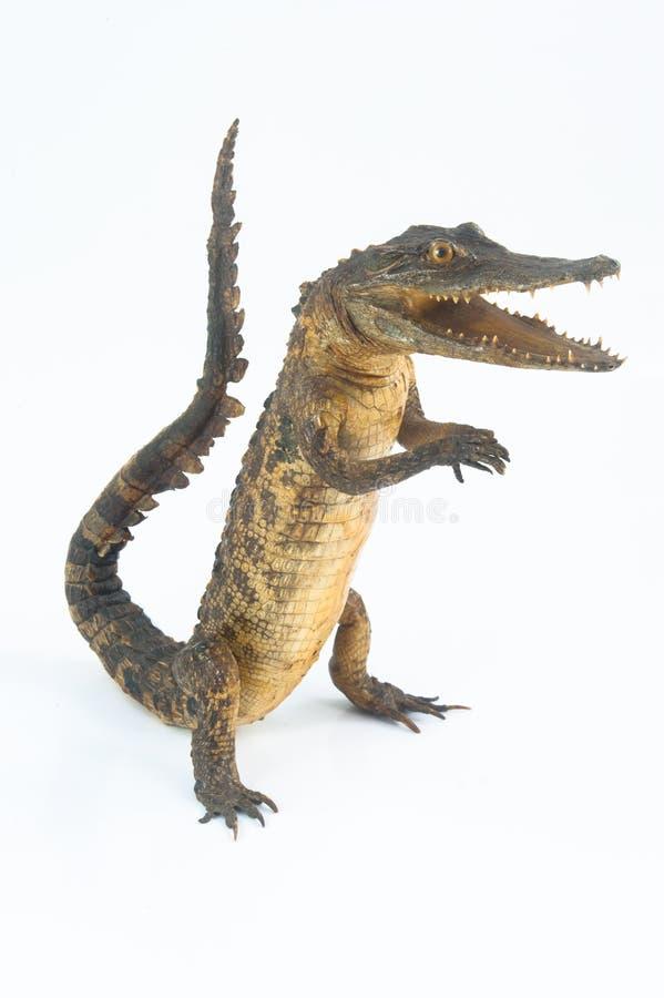 La position de crocodile photo libre de droits