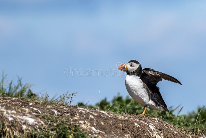 La position de macareux en dehors de elle est terrier, agitant ses ailes photo libre de droits