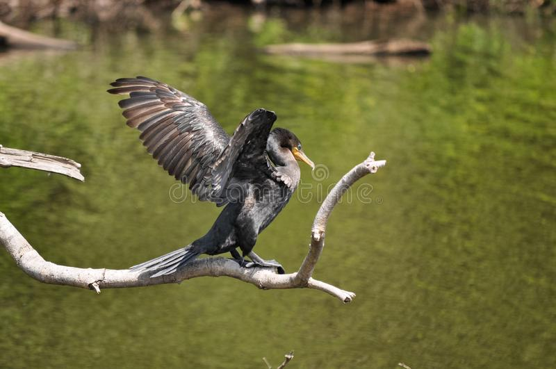 La posizione tipica di Cormorant, asciugante le sue ali fotografia stock libera da diritti