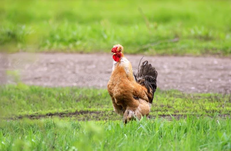 La poule rouge avec une touffe arpente sur l'herbe verte à la ferme photos stock
