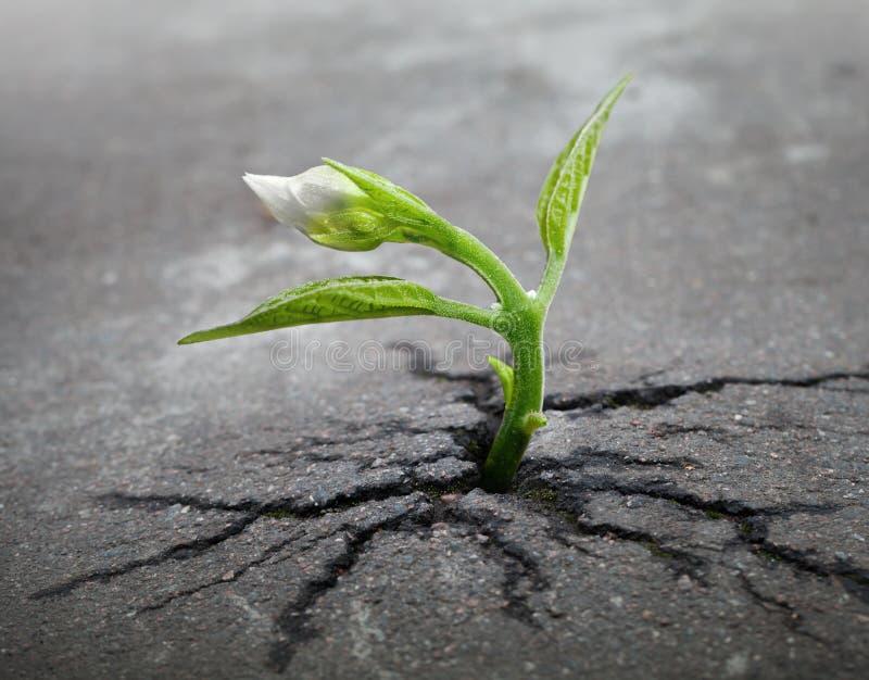 La pousse de fleur blanche se développe par l'asphalte photos libres de droits