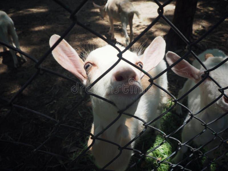 La povera capra è in gabbia fotografia stock