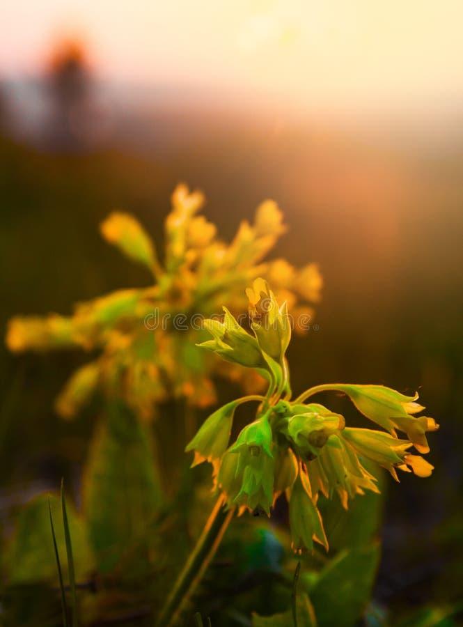 La prímula floreciente Veris de la primavera contra el sol naciente imagenes de archivo