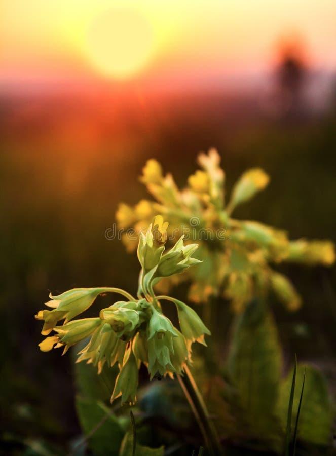 La pr?mula floreciente Veris de la primavera contra el sol naciente imagen de archivo libre de regalías