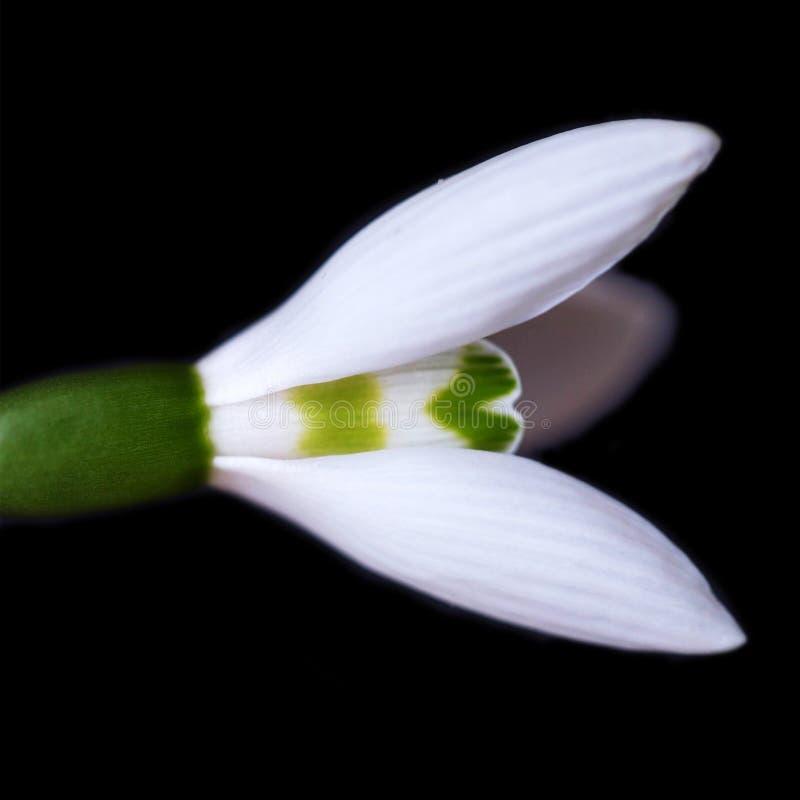 La première fleur de ressort est un perce-neige d'isolement sur un noir image stock