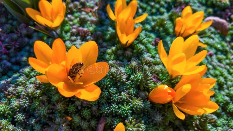La première introduction des fleurs, perce-neige jaunes photographie stock