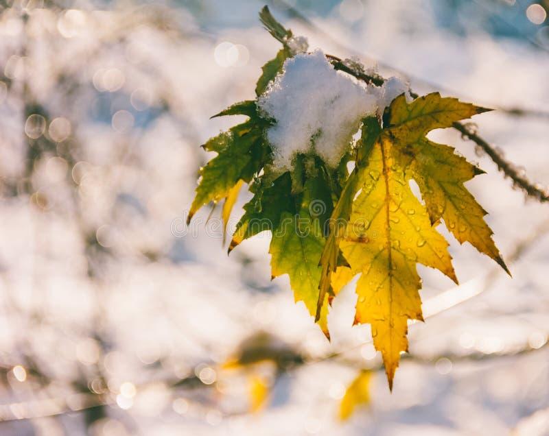 La première neige sur le dernier érable part pendant le matin d'automne photo stock