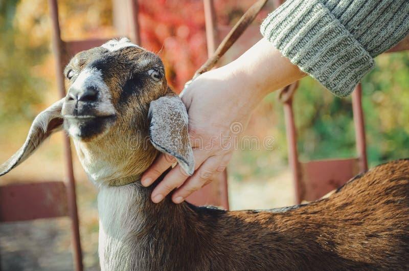 La presentadora frota ligeramente una cabra joven de Angla-Nubian imagen de archivo