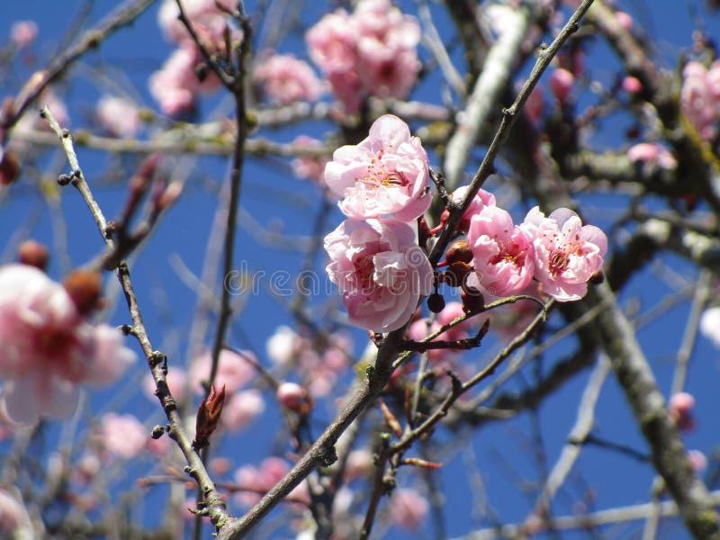 La prima fioritura 2019 di pochi fiori di ciliegia rosa svegli si chiude su fotografia stock libera da diritti