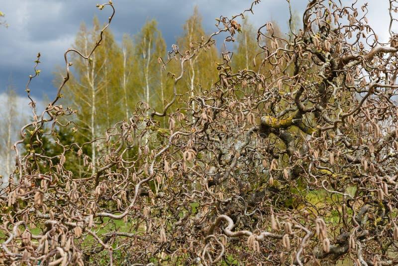 la prima linea dei rami di albero nocciola decorativi sottrae la forma fotografia stock libera da diritti