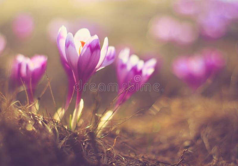 La prima molla fiorisce il croco al sole immagini stock libere da diritti
