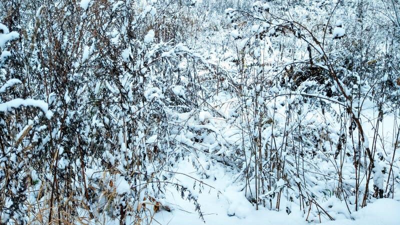 La prima neve a novembre, erba innevata in neve, a novembre la città di inverno Erba asciutta a dicembre con bianco fotografie stock
