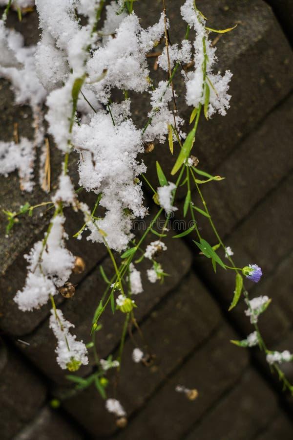 La prima neve sui gambali di lino con fiori e semi di lino non ancora sbiaditi fotografie stock libere da diritti