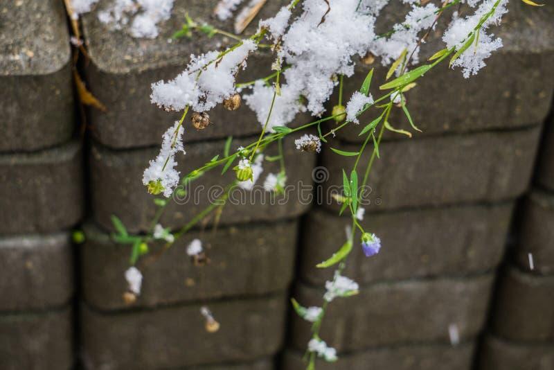 La prima neve sui gambali di lino con fiori e semi di lino non ancora sbiaditi fotografie stock