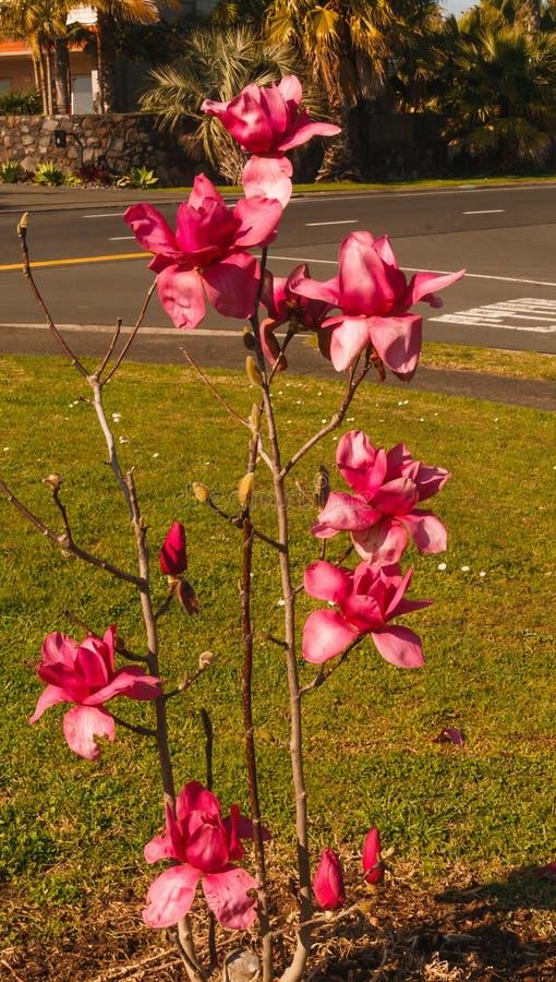 La prima piccola magnolia di rosa del fiore dell'albero fotografie stock