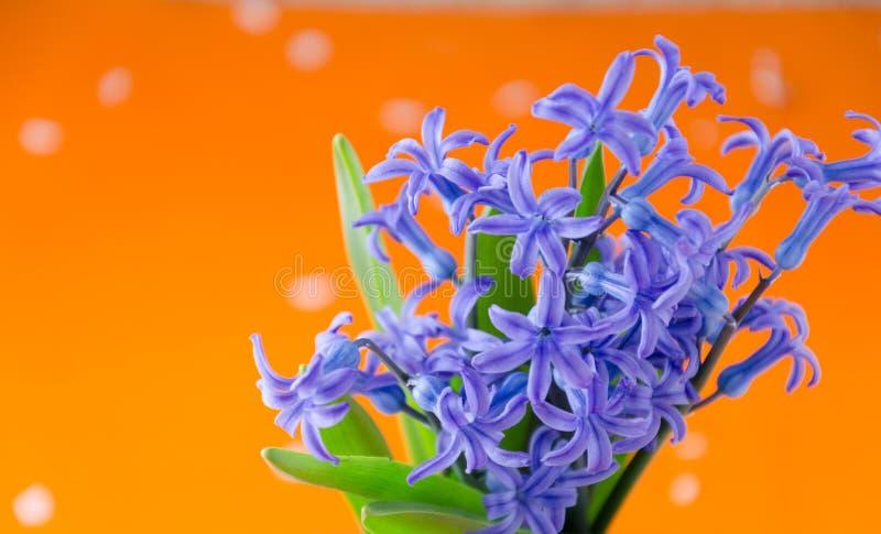 La primavera azul florece con las hojas verdes en un fondo anaranjado fotografía de archivo